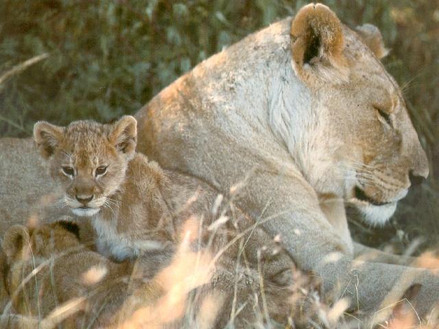 比一比:小老虎和小狮子谁更漂亮更可爱