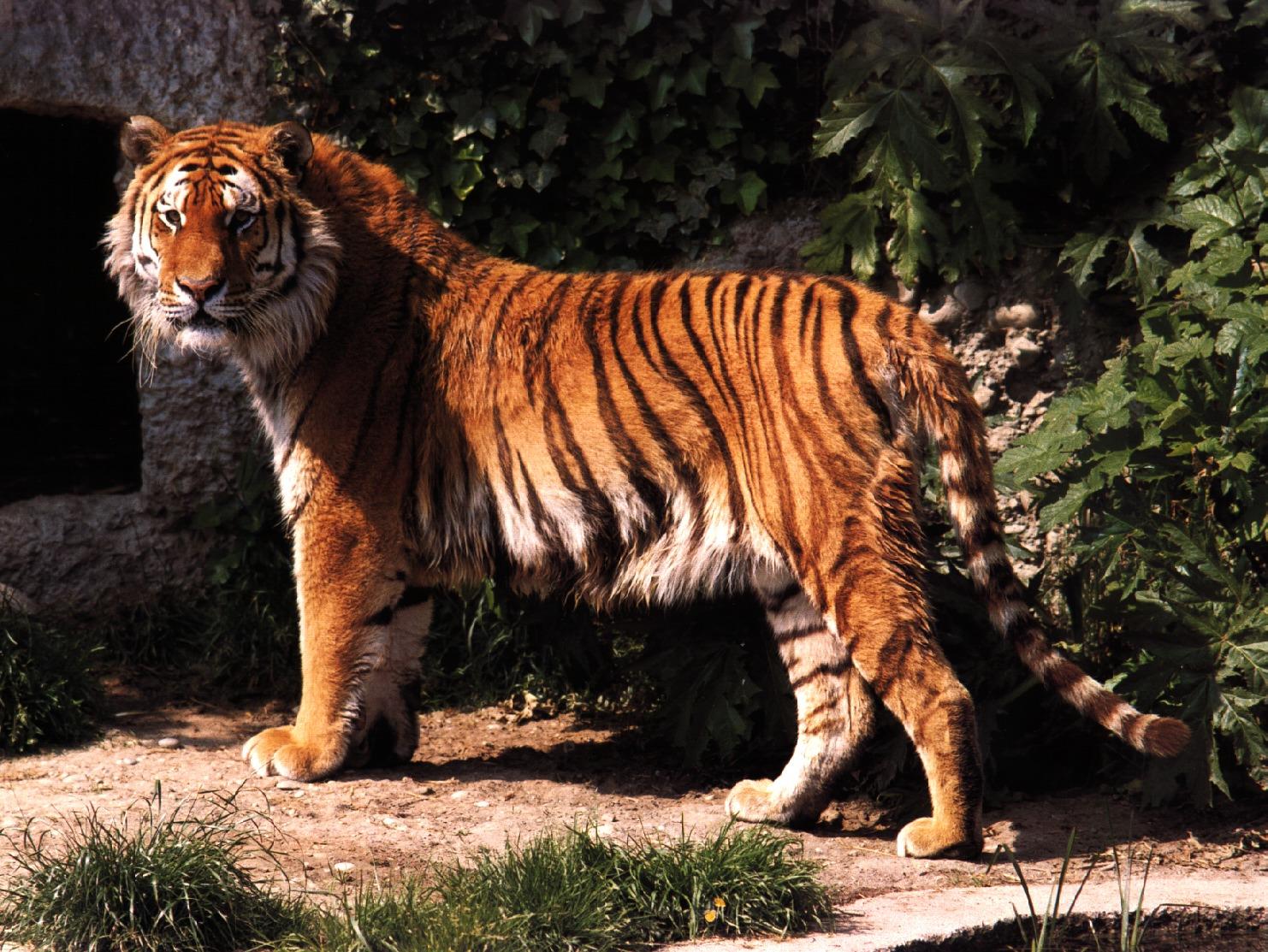 Тигры. Фото галерея. - Pridelands.ru: www.pridelands.ru/?p=real-tigersgallery&c=5&r=8