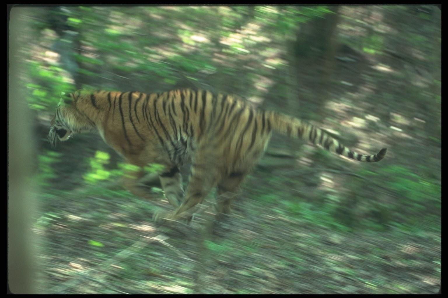 Tigers 0023